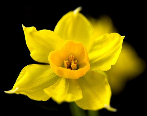 black wallpaper with yellow flowers flower black background yellow daffodil wallpaper