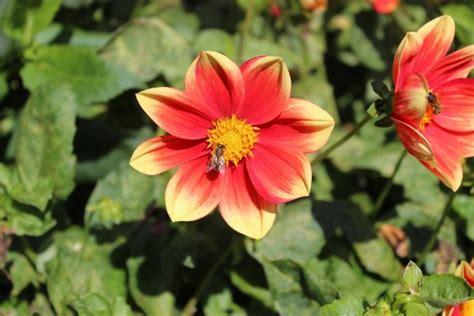 dalia fiore significato dalie coltivazione