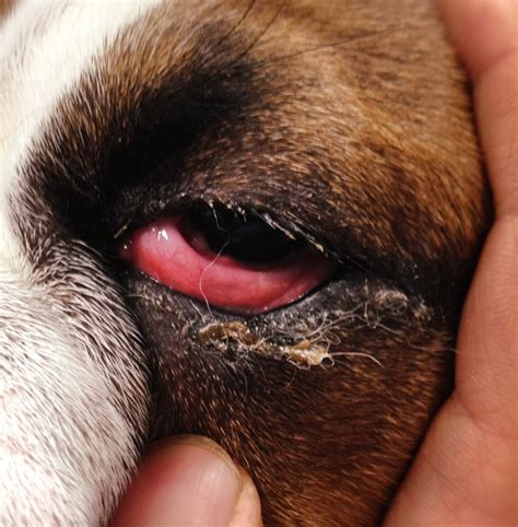 eye infections in dogs pictures of canine conjunctivitis breeds picture