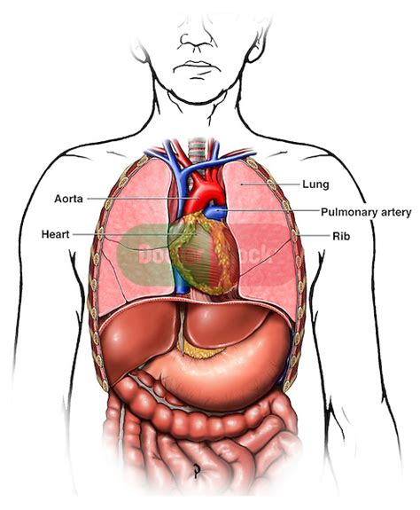 anatomy   thoracic chest organs doctor stock