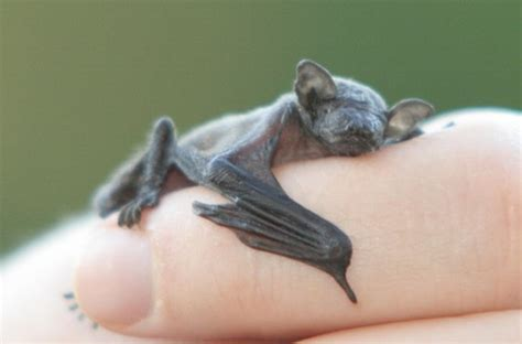 baby bat vlermuis this baby bat fell from the nest and