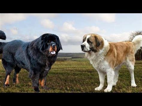 watchdog vs guard tibetan mastiff vs moscow watchdog strongest and best guard dogs