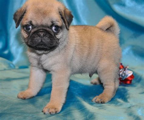 mini pug puppies miniature pug puppies images frompo