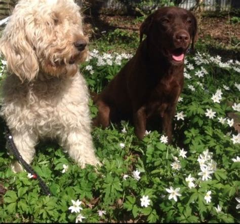 ultimate doodle puppy minature ultimate doodle puppies ruislip middlesex