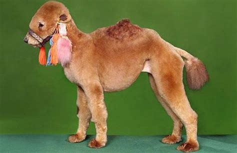 worst dogs for worst haircuts 49 pics