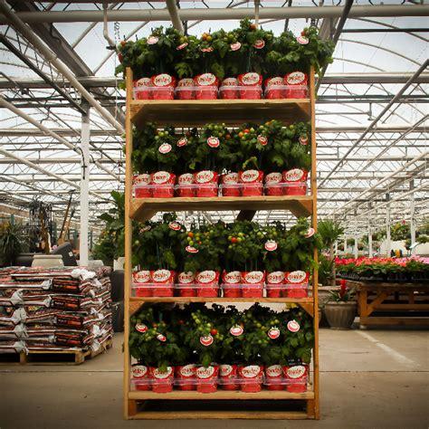 Tomato Racks by Snacker Tomato Wingerden Greenhouses