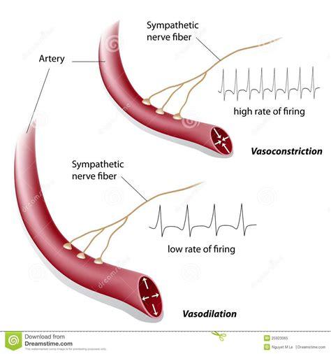dilatazione vasi sanguigni controllo di vasodilatazione e di vasocostrizione