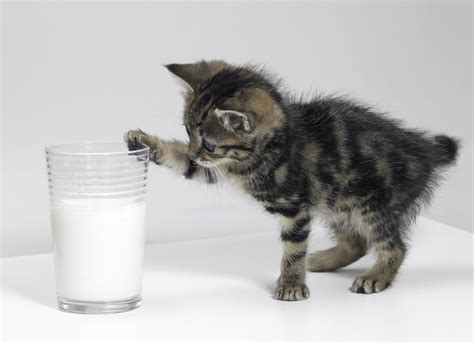 Special Cat Milk Kucing Longlife Growing Kitten 20 Gram stages of kitten development every cat lover would want to