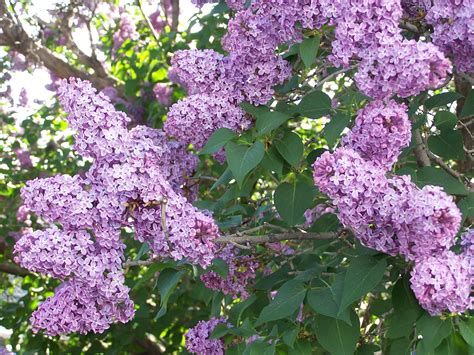 lilac tree the lilac trees chatting about
