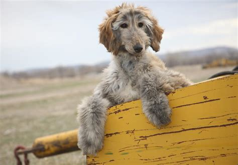 akc afghan hound puppies for sale afghan hound puppies for sale akc puppyfinder