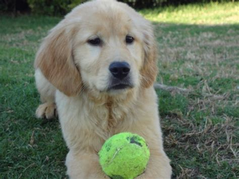 va golden retrievers golden retriever adults for sale virginia photo