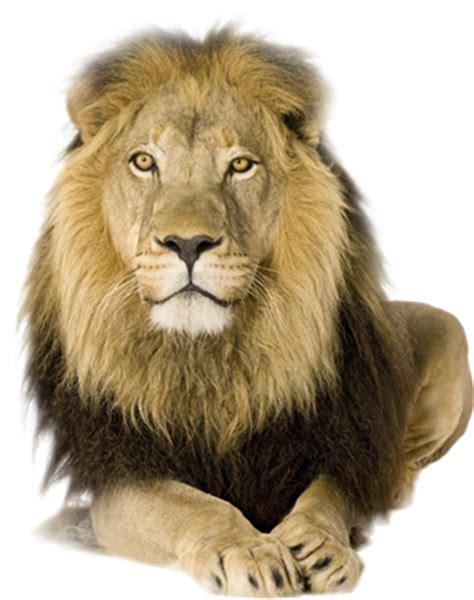 imagenes de leones amorosos d panchatantra el le 211 n y la liebre