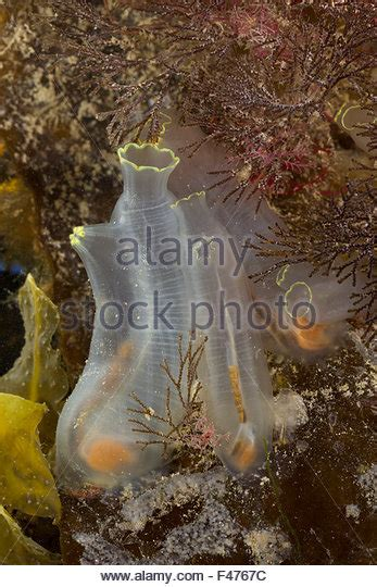 tunicate stock photos tunicate stock images alamy