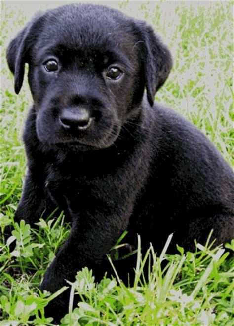 ocala4sale puppies black and white labs as puppies then adults