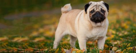 pug maintenance pug breed health history appearance temperament and maintenance