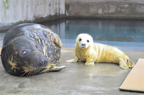 Seal Pop Seal Jus smithsonian s national zoo welcomes new seal pup to gray seal colony smithsonian s national zoo
