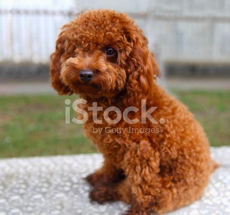 perro caniche rojo fotograf 237 as de stock freeimages com