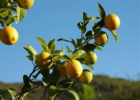 concimare limoni in vaso concimazione limoni concime come e quando concimare limoni