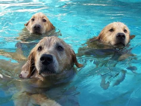 golden retrievers in pool 12 reasons why you should never plan a golden retriever pinsit