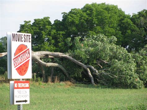 shawshank redemption tree strong winds topple the iconic oak tree from the shawshank