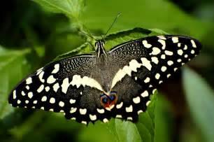news butterfly black butterfly
