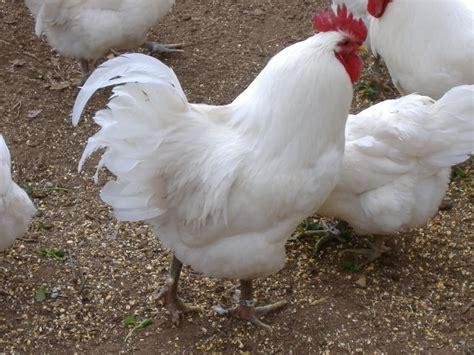 plymouth rock eggs plymouth rock chicken ilhamaku