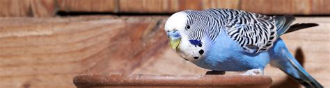 caring for pet birds a few helpful tips hartz