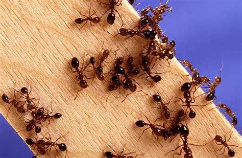 come combattere le formiche in casa in primavera tornano le formiche come combattere l