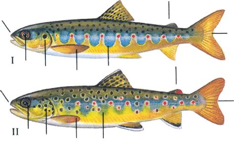 what is the difference beween salmon and sea trout atlantic salmon trust