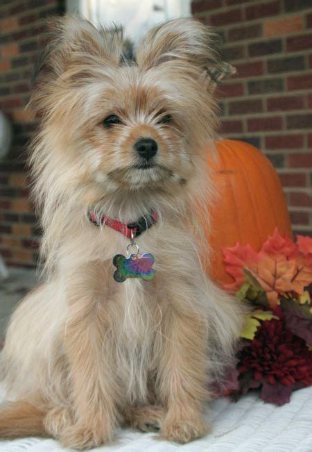 teacup yorkie pomeranian mix 17 best ideas about pomeranian mix on pomsky puppies price pomeranian