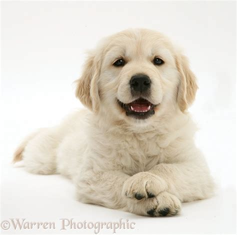 smiley golden retriever smiley golden retriever pup lying up paws crossed photo wp33003