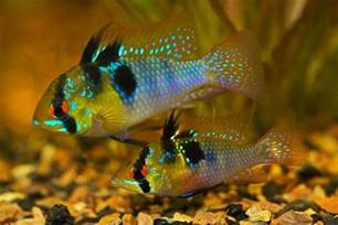 colorful freshwater fish 10 most colorful fresh water fishes