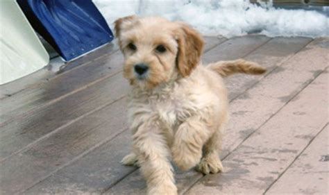 mini labradoodles maine labradoodle puppy labradoodle puppy gallery mini and