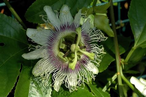 Passiflora Edulis Culture by Photo Passiflora Edulis