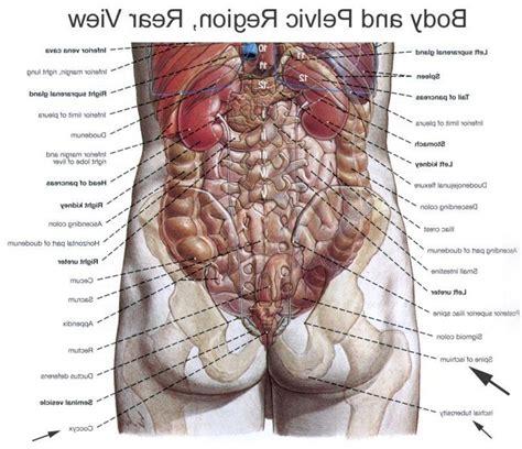 organ anatomy anatomy back organs human anatomy diagram