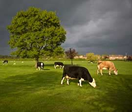 feeding grass 'most sustainable' way to rear beef