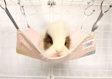 guinea pig bedding ideas 25 best ideas about guinea pig bedding on pinterest