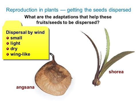 94 fruit with seeds seed dispersal ppt