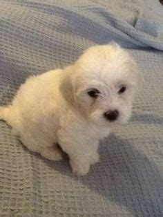yorkie poo puppies for sale in greenville sc adorable shih poo shih tzu poodle mix puppies non shedding lovable