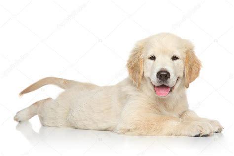 golden retriever blanco cachorro de golden retriever en fondo blanco foto de stock 169 fotojagodka 51536425