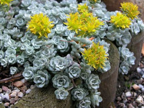 9 easy care sedums world of succulents