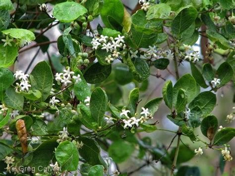 fragrant trees with white flowers coelospermum reticulatus open shrub with fragrant small