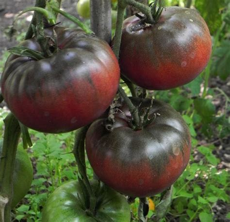 garden variety the american tomato from corporate to heirloom arts and traditions of the table perspectives on culinary history books 27 best images about garden heirloom tomatoes on
