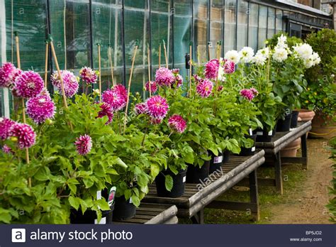 Garden Flowers For Sale Pink And White Dahlia Flower Flowers Plant Plants For Sale At Stock Photo Royalty Free