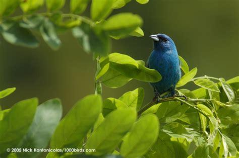 animal photos videos hub indigo bunting animal biography