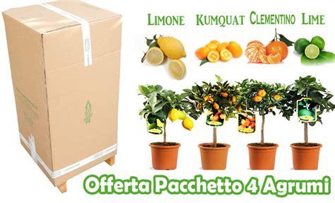 agrumi in vaso pacchetto mini 4 agrumi in vaso 18 savini vivai di