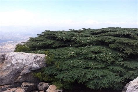 how to bring a plant back to life how to bring a plant back to life plant conifer trees for