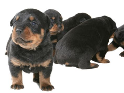 hip dysplasia rottweiler symptoms hip dysplasia in dogs treatment diagnosis care prevention fitzroy vet hospital