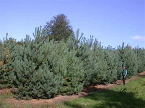 pini da giardino pini da siepe siepi pini per realizzare siepi