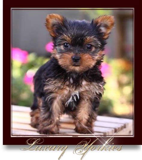 teacup yorkie for sale in dallas luxury yorkies teacup yorkie puppies for sale yorkie breeder